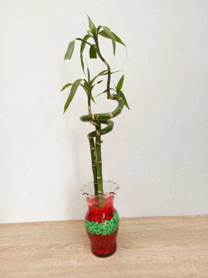 donde comprar lucky bamboo