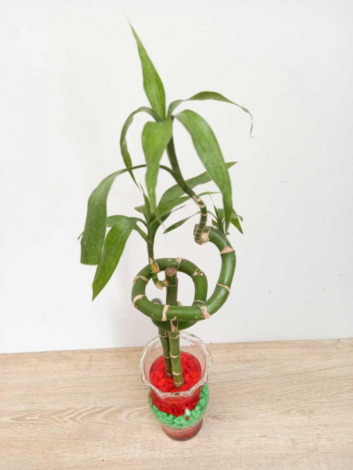 como cuidar un lucky bamboo