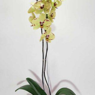 orquidea-amarilla