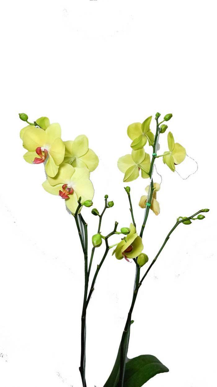 la orquidea de colombia