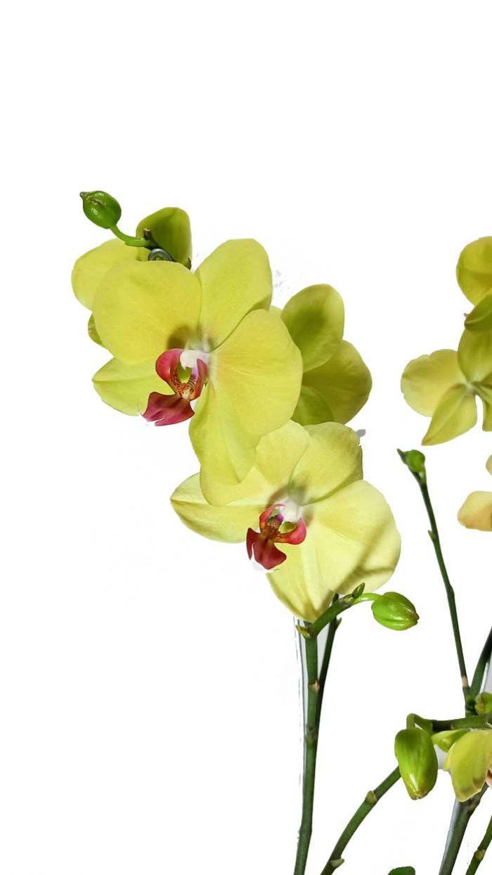 clases de orquideas