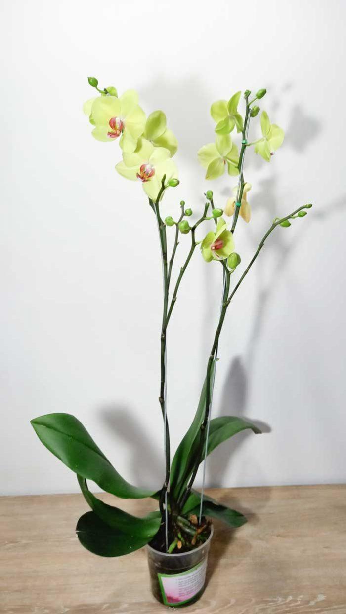 venta de orquideas bogota