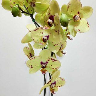 orquidea-amarilla_1
