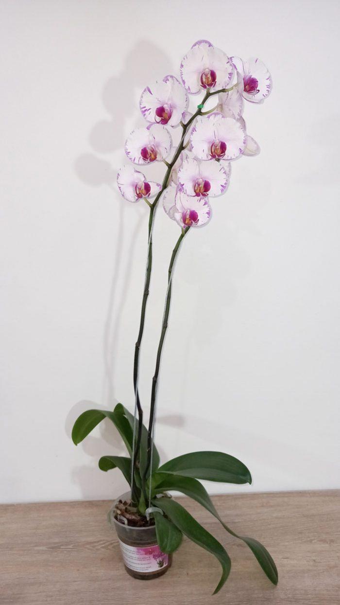 cattleya flor