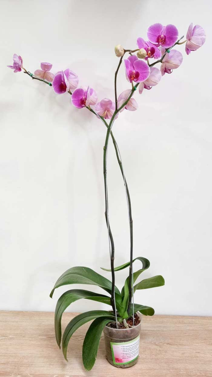 orquideas cattleya