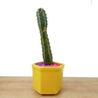suculenta aloe cactus 5HA