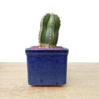suculenta jade cactus 6CA