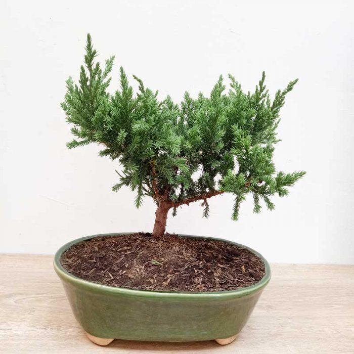 venta de bonsai baratos